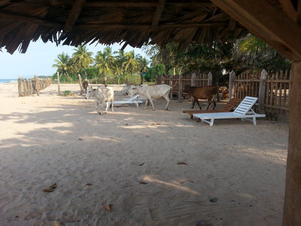 Erfahrungs Sri Lanka mit Kühen am Strand, Trincomalee