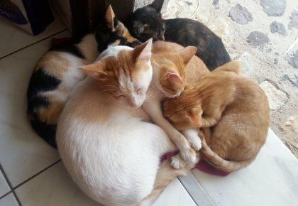 Katzen auf Santorini